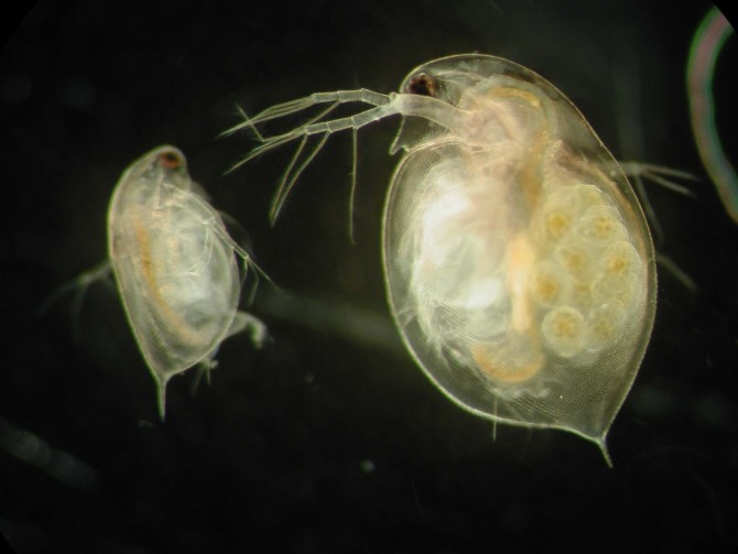 water fleas, from Wired Science. Photo: West Group, Oxford University