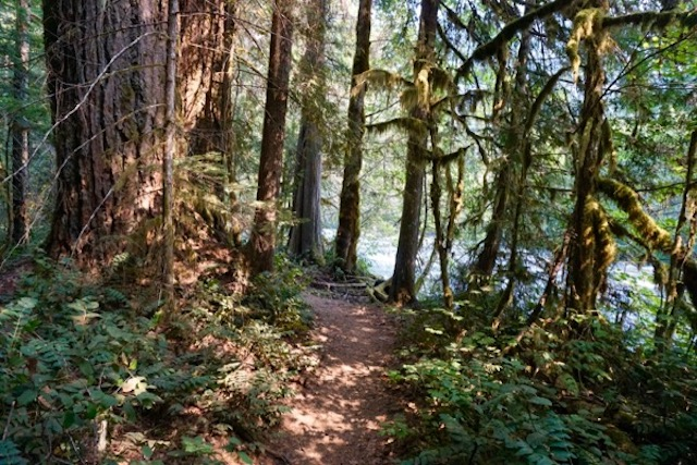 old growth forest along McKenzie River