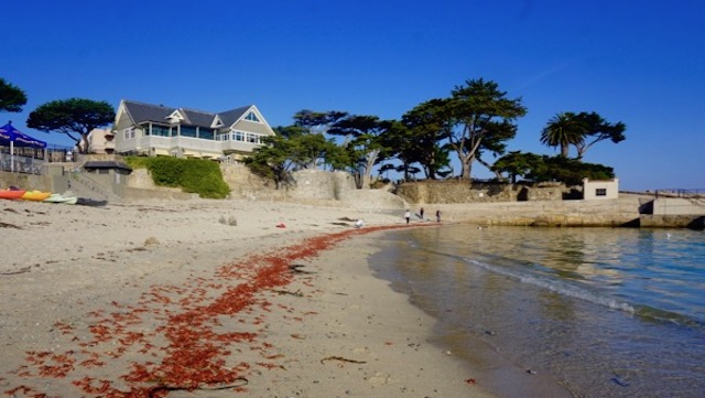 pelagic red crabs wash up on Lovers Point beach - warm ocean temps pushed  them north from Mexico and they died from cold shock of Bay. Reportedly a sign of El Nino
