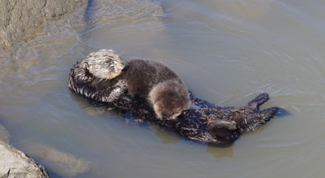 sea otter mom and recently born pup